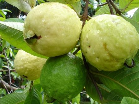 Pierden productores de guayaba el 60% de su producción