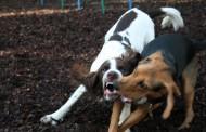 Estatales y Preventivos participan en peleas clandestinas de perros