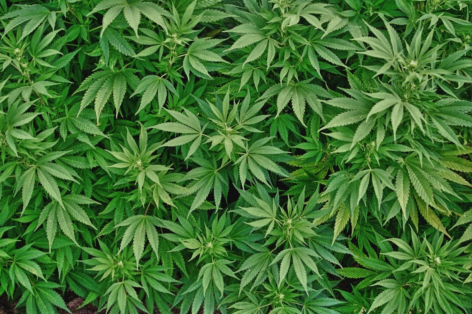Sigue el debate sobre uso de la mariguana en el Congreso Local