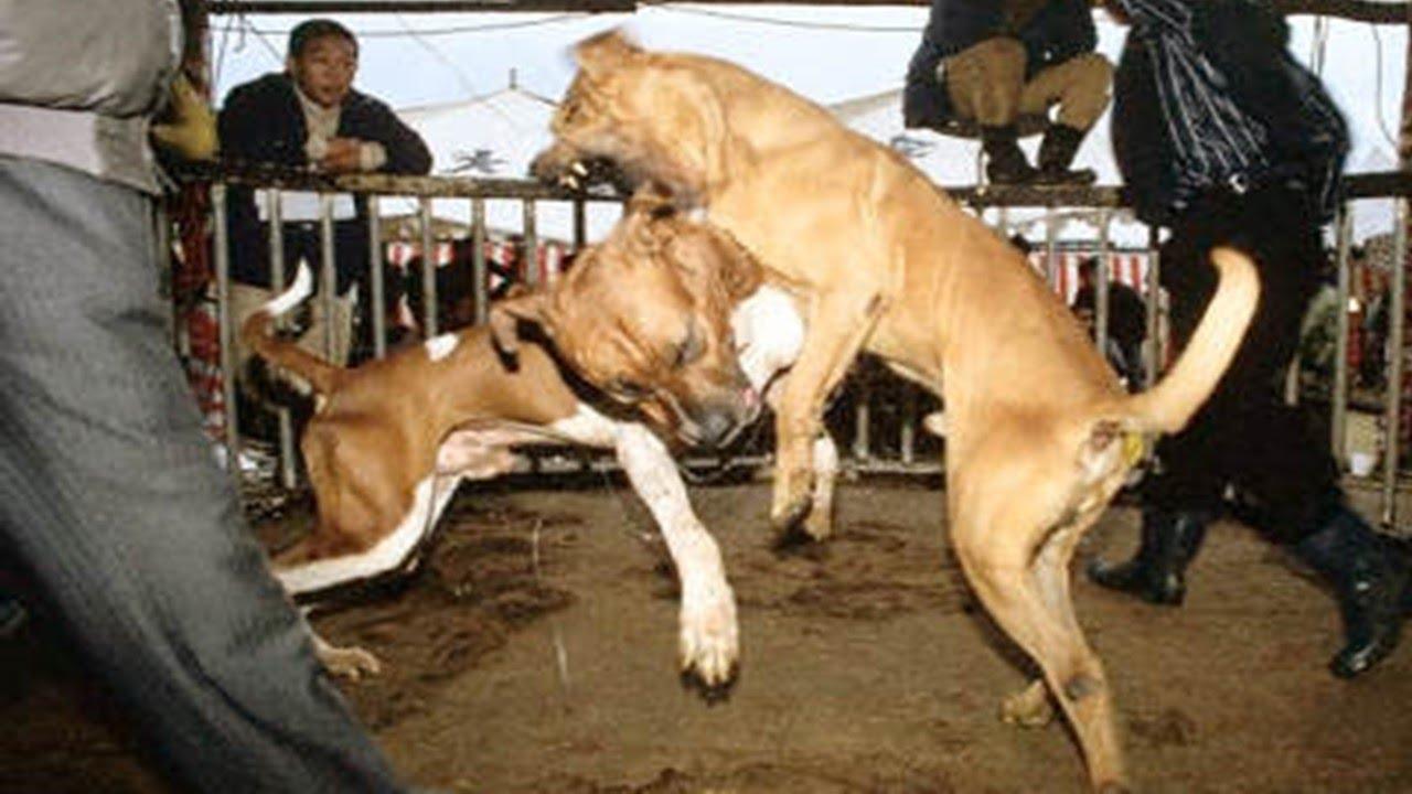 Casi superadas las 75 mil firmas para cancelar pela de perros en Aguascalientes