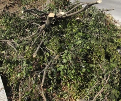 Acepta alcalde tala de eucaliptos y casuarinas en Asientos