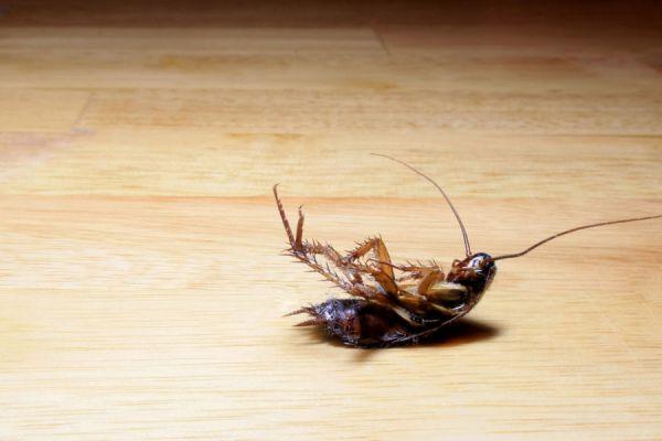 Cucarachas y tecuejos, abundan en temporada de calor
