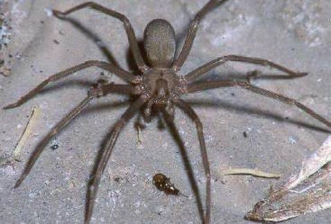 Alerta ISSEA sobre proliferación de arañas
