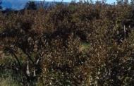 Hay al menos 600 hectáreas afectadas por helada en Calvillo
