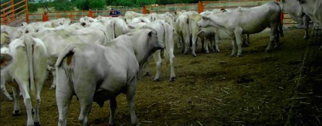 Denuncian ranchos clandestinos de ganado