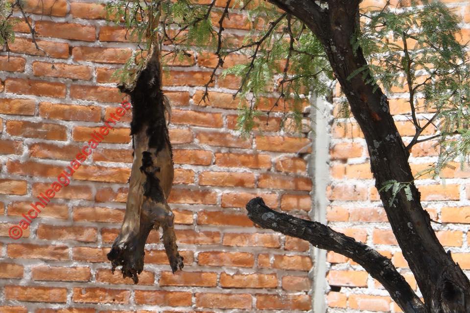 Nulas las sanciones en Aguascalientes por maltrato animal