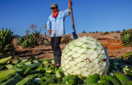 Crearán grupo nacional de productores mezcaleros