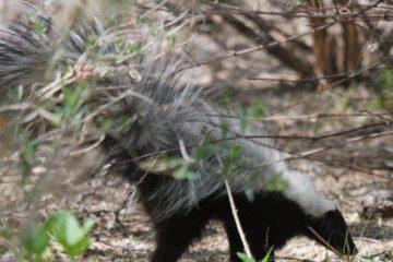 Rescatan en Pabellón una hembra de zorrillo listado