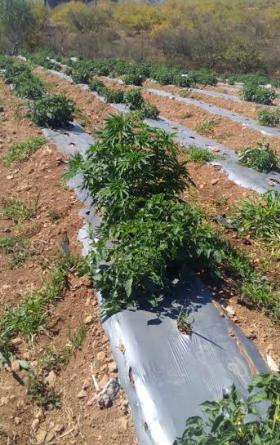 Descubren sembradío de marihuana entre hortaliza de tomates