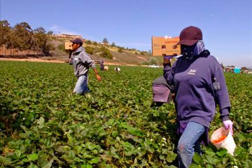 Tiene Aguascalientes saldo positivo en empleos agrícolas